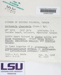 Pertusaria glaucomela image