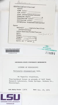Pertusaria sinusmexicani image