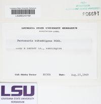 Pertusaria subambigens image