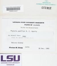 Physcia pumilior image