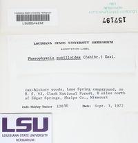 Phaeophyscia pusilloides image