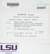 Physcia caesia image
