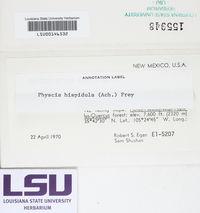 Phaeophyscia hispidula image
