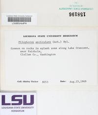 Pilophorus acicularis image