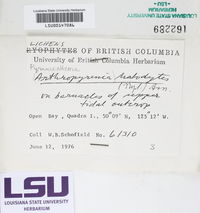 Collemopsidium halodytes image