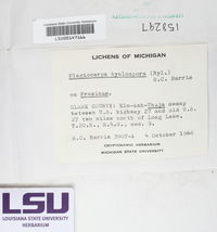 Lithothelium hyalosporum image
