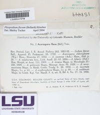 Pleopsidium flavum image
