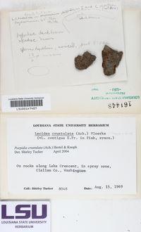 Porpidia crustulata image