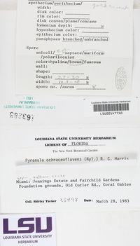 Pyrenula ochraceoflavens image