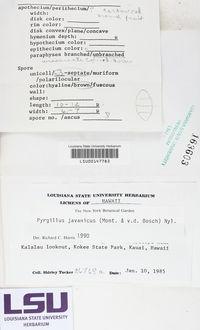 Pyrgillus javanicus image