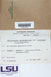 Rhizocarpon geographicum var. contigua image