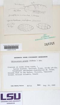 Rhizocarpon grande image