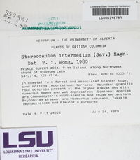 Stereocaulon intermedium image