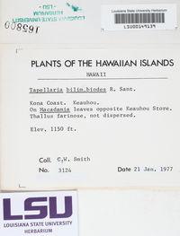 Image of Tapellaria bilimbioides