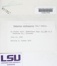 Thamnolia subuliformis image