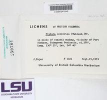 Siphula ceratites image