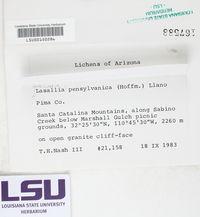Lasallia pensylvanica image