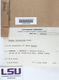 Usnea cavernosa image