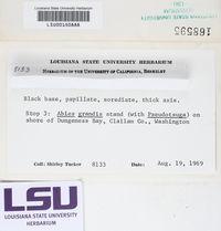 Usnea subfloridana image
