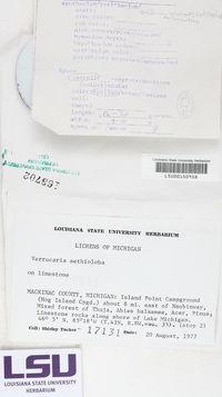 Verrucaria aethiobola image
