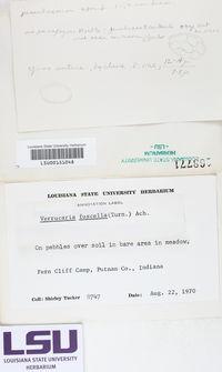 Placopyrenium fuscellum image
