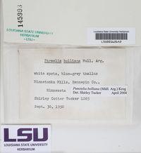 Punctelia bolliana image