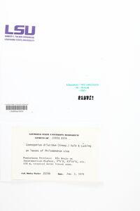 Coenogonium dilucidum image