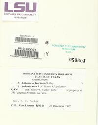 Arthonia susa image