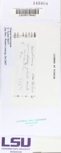 Chapsa leprocarpa image