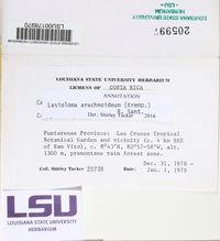 Lasioloma arachnoideum image
