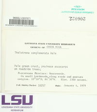 Image of Thelotrema conglomeratum