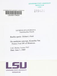Buellia maculata image