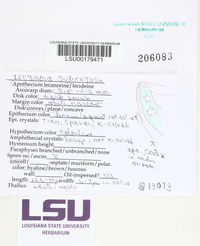 Lecanora subrugosa image