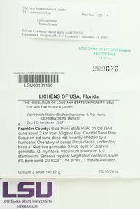 Lepra trachythallina image