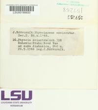 Phaeophyscia sciastra image