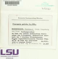 Placopsis gelida image
