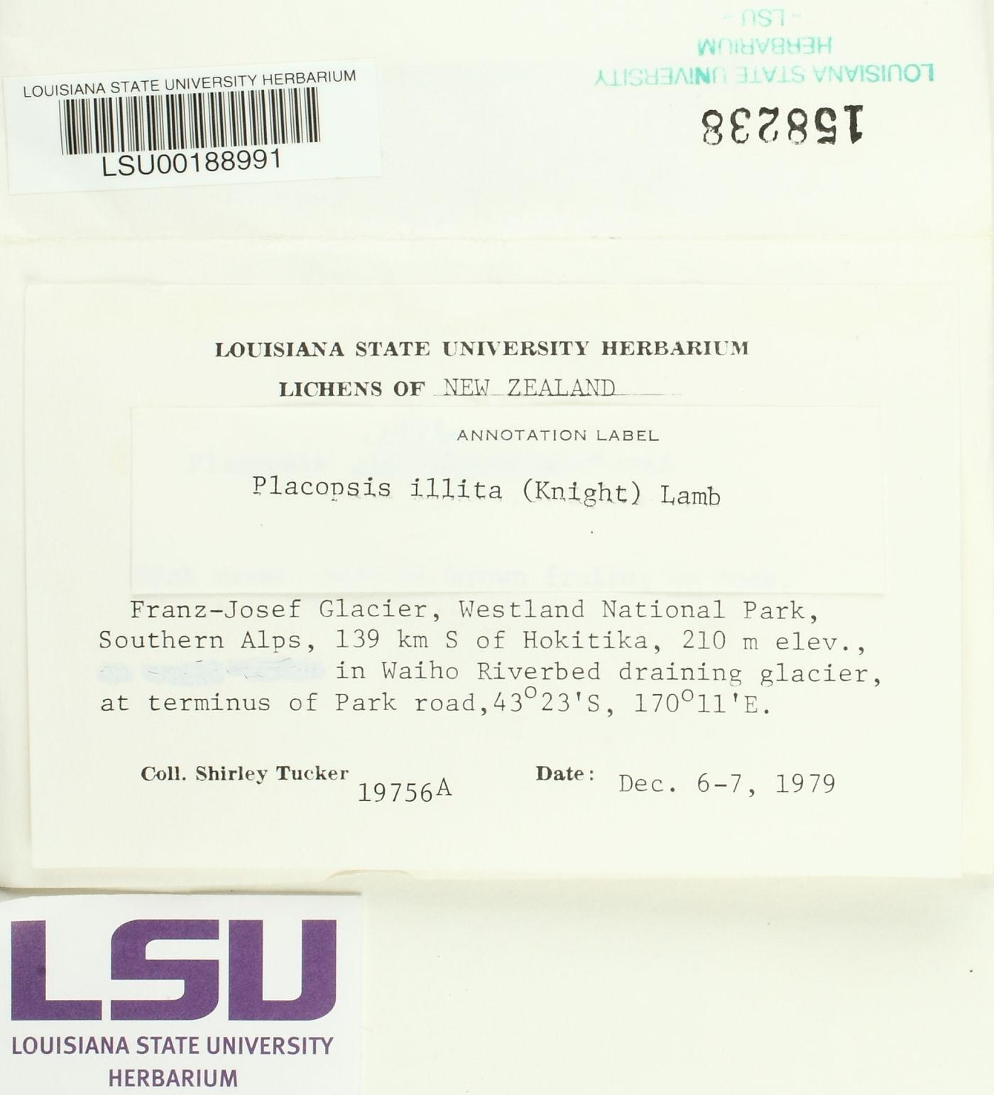 Placopsis illita image