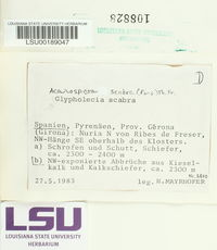 Glypholecia scabra image