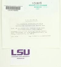 Acrocordia gemmata image