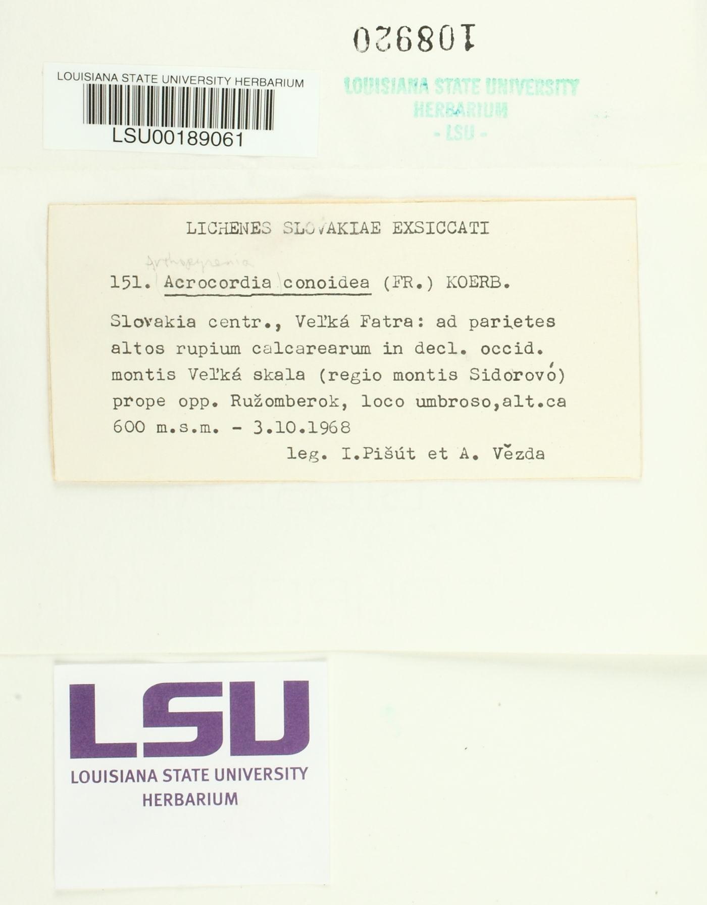 Acrocordia conoidea image