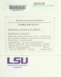 Anaptychia ciliaris image