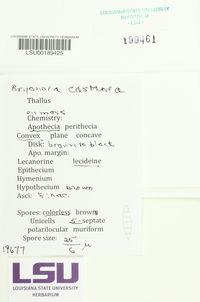 Bryonora castanea image
