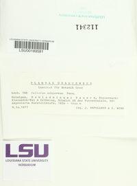 Calicium adspersum image