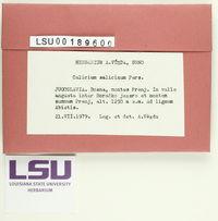 Calicium salicinum image