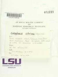 Flavoplaca citrina image
