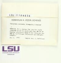 Caloplaca coronata image