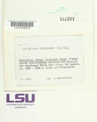 Caloplaca diphyodes image