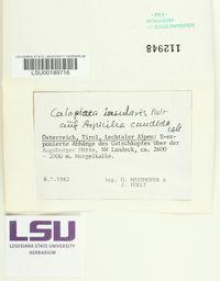 Caloplaca insularis image