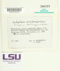 Image of Caloplaca saxifragarum
