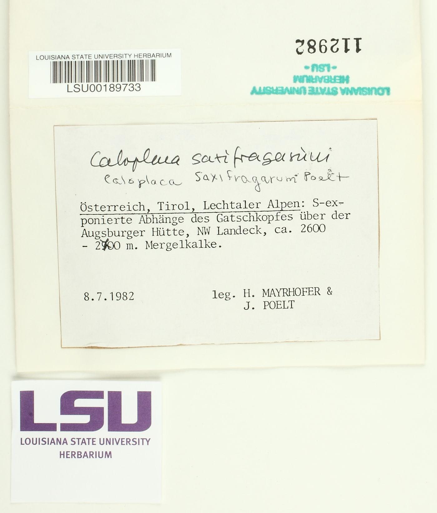 Athallia saxifragarum image